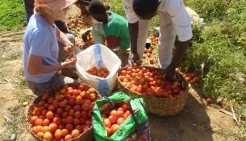 Conservation de la tomate et développement agricole